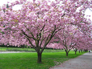 Kwanzan cherry trees in the UW quad
