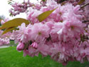 Kwanzan cherry tree in bloom