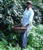 Coffee harvesting in Nicaragua
