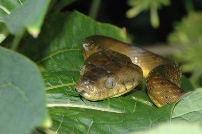 Serpiente árbol marrón podría significar que Guam perderá más que sus aves | Hoy dia