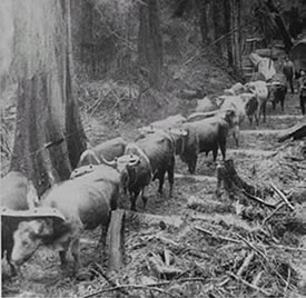 Oxen hauling logs