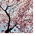 Photograph of cherry blossoms
