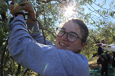 Alicia picking olives that were later pressed for olive oil in Italy.