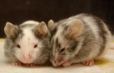 Transgenic Resources Program (TRP) image of mice